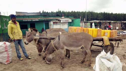 Africa's donkeys slaughtered for Chinese 'miracle elixir'