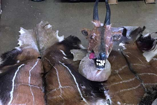 Officials with U.S. Customs and Border Protection seized this bushbuck skin and head at Dulles in late August. (Officials with U.S. Customs and Border Protection seized this bushbuck skin and head at Dulles in late August. Courtesy of U.S. Customs and Border Protection)