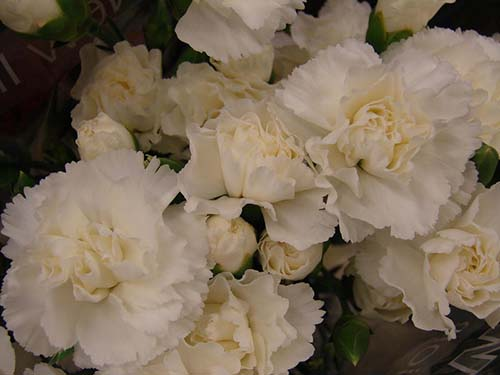 White carnations were the favorite flower of Anna Reeves Jarvis, who inspired Mother's Day. Photo - Forest and Kim Starr/Flickr