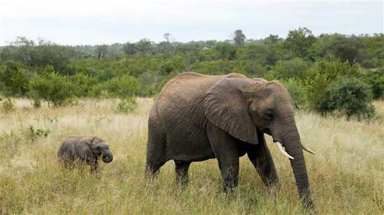 Elephants are seen at a game reserve adjacent to the world-renowned Kruger National Park. Image credit - Press TV