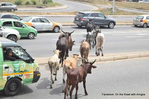 File image - Cows cross a busy street in Achimota, Accra.