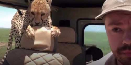 Curious cheetah jumps into car on safari tour.